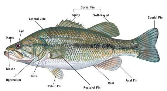 鱼有耳朵吗?