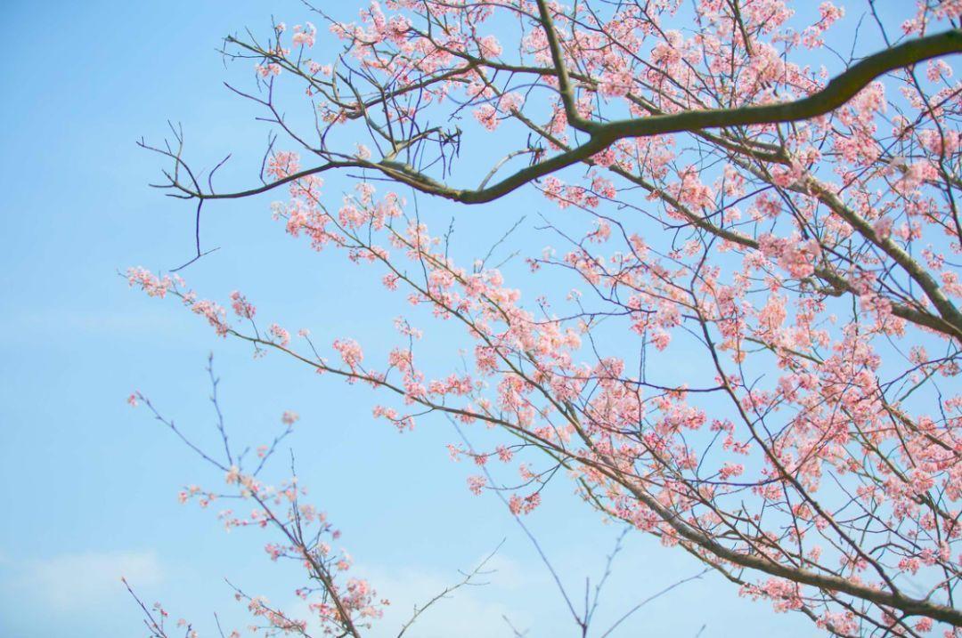 蓝色星球最美最大的樱花园,就在贵州,等你共赴一场