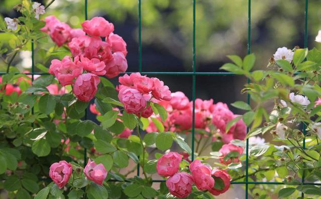 粉红色的蔷薇