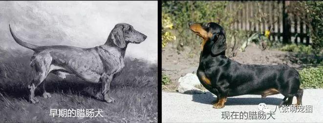 狗猩交配视频_纯种犬的悲哀!每个养狗人都应该深思…