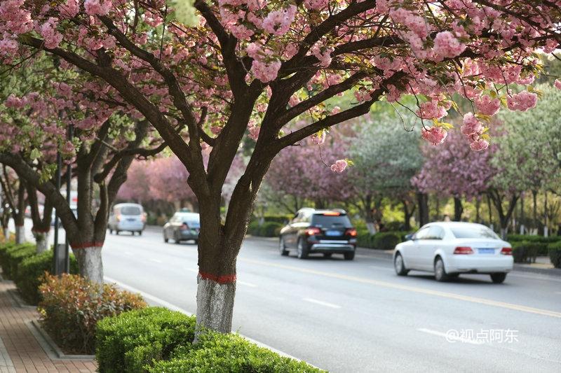 西安高新区第三届摄影大赛火热启幕 樱花盛开春光惹人醉 - 视点阿东 - 视点阿东