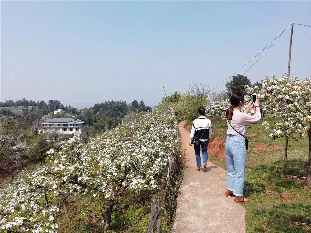 锦屏镇梨花节_在中兴镇隐藏着一处赏花秘境,就是位于九龙社区的\
