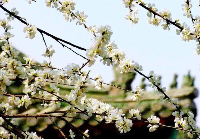 谁说北京没春天,只因花开悄无声