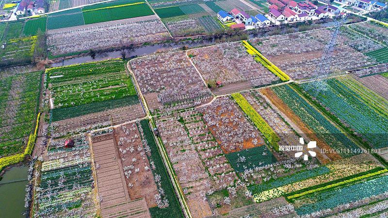 2018年4月1日,江苏南通,海安县大公镇万亩梨园.