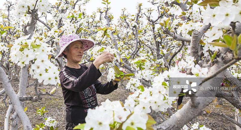 2018年4月1日,江苏南通,航拍海安县大公镇万亩梨园.