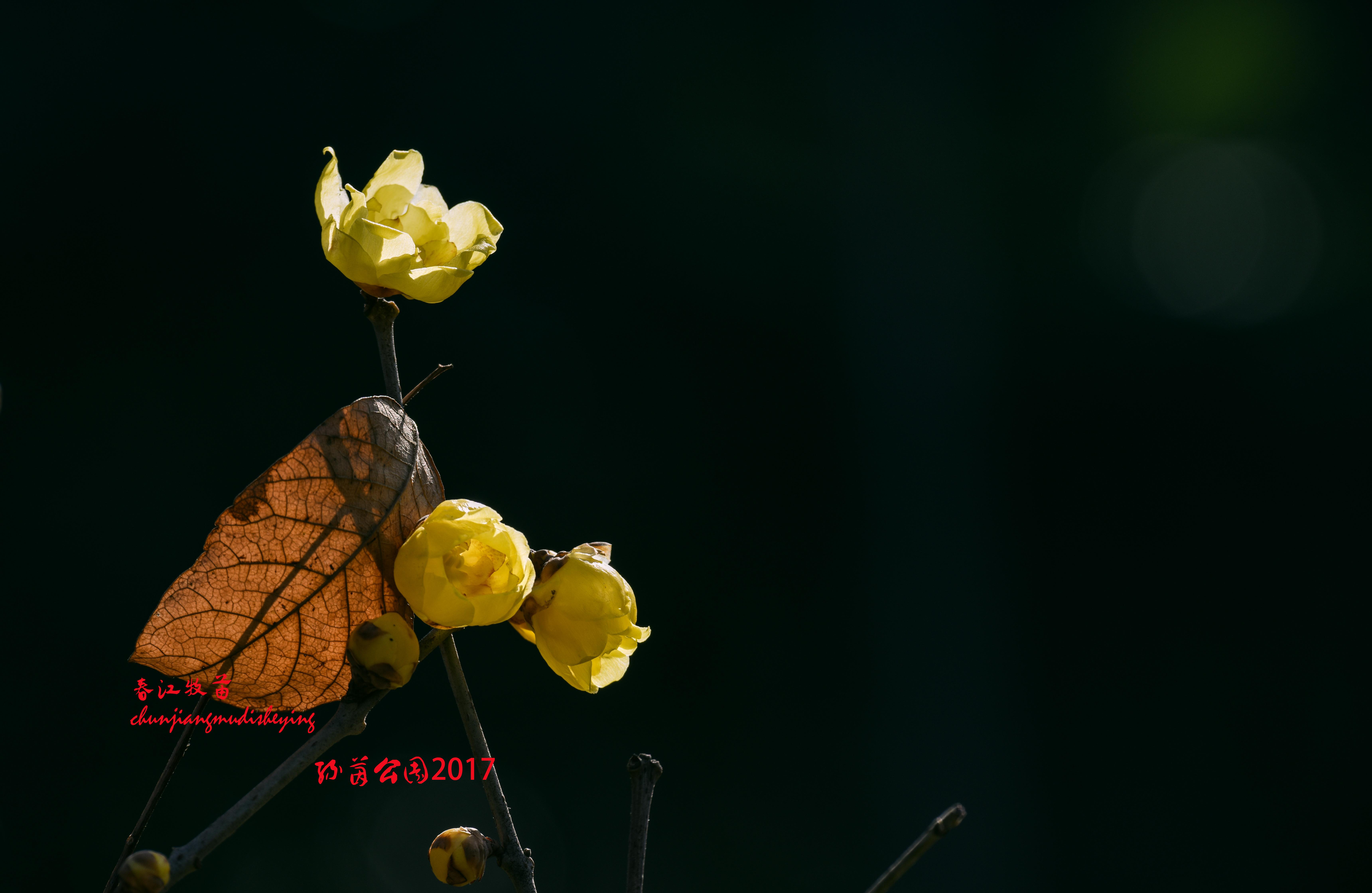 暮鼓晨钟——一朵枯萎的玫瑰花
