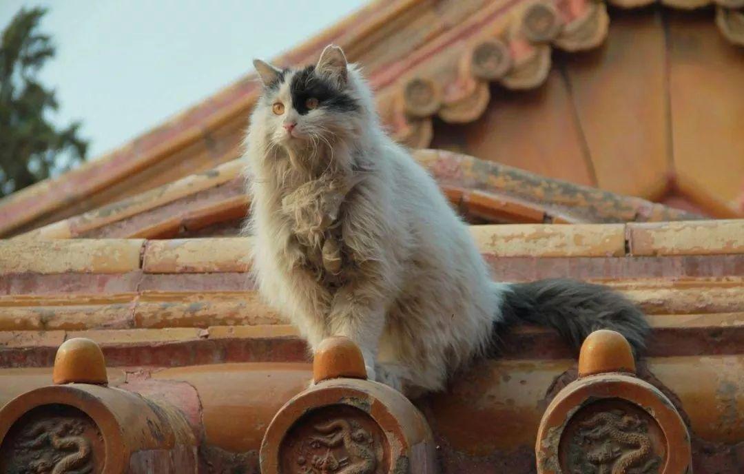 撩主播·萌宠   猫,故宫的主子