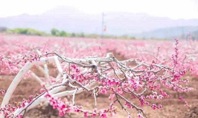 油菜花田,普济寺海棠花,樱花小道……丽江各处都是花花,令人琳琅满目图片