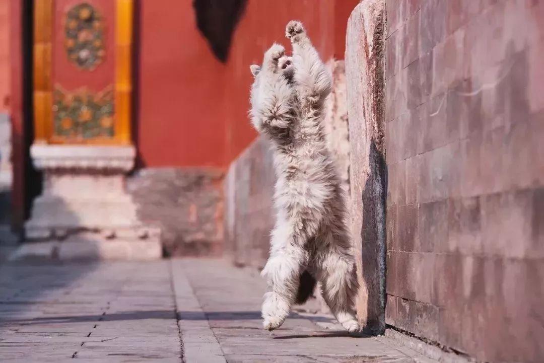 猫,故宫的主子