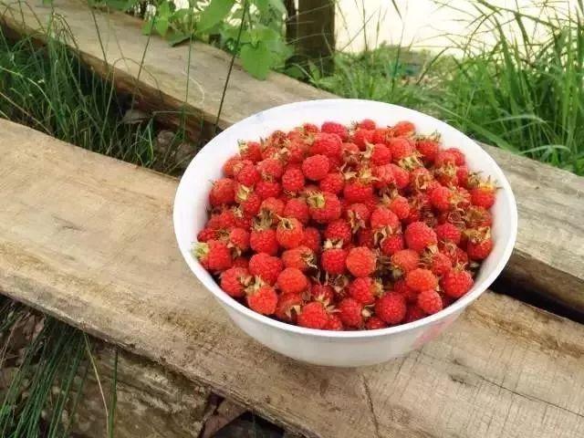 野草莓已成熟,城市的孩子都馋哭了 你知道野草莓学名叫什么吗?