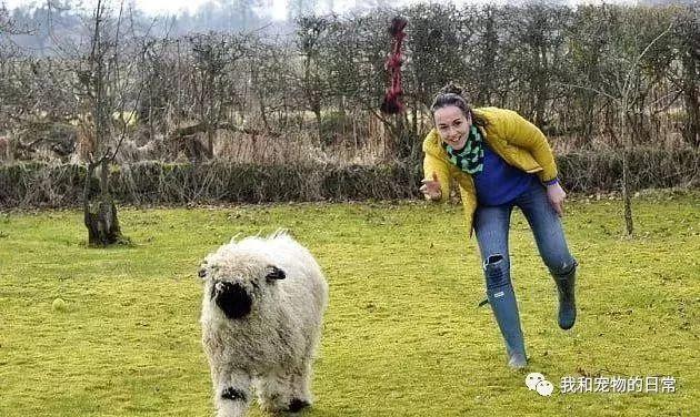 懵逼小羊以為自己是小狗,看見草就一臉嫌棄,要在飯盆里吃狗糧!