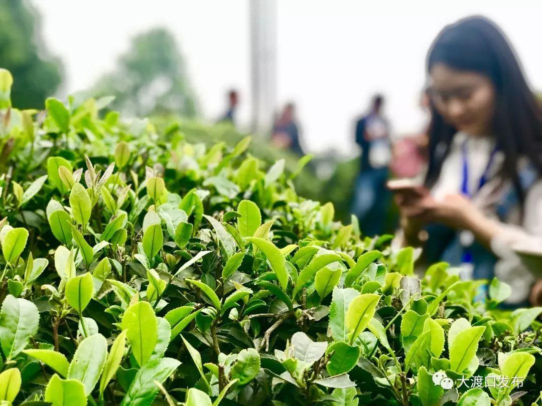 永川茶文化旅游节明天开幕,七大特色活动耍事多!