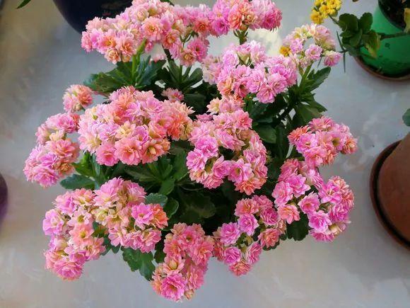 梦见花盆里开花的花