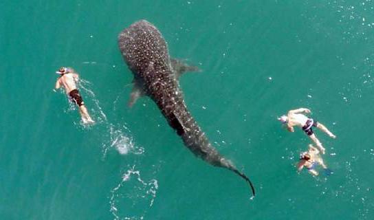 墨西哥海域现潜泳者与鲸鲨同游共舞画面