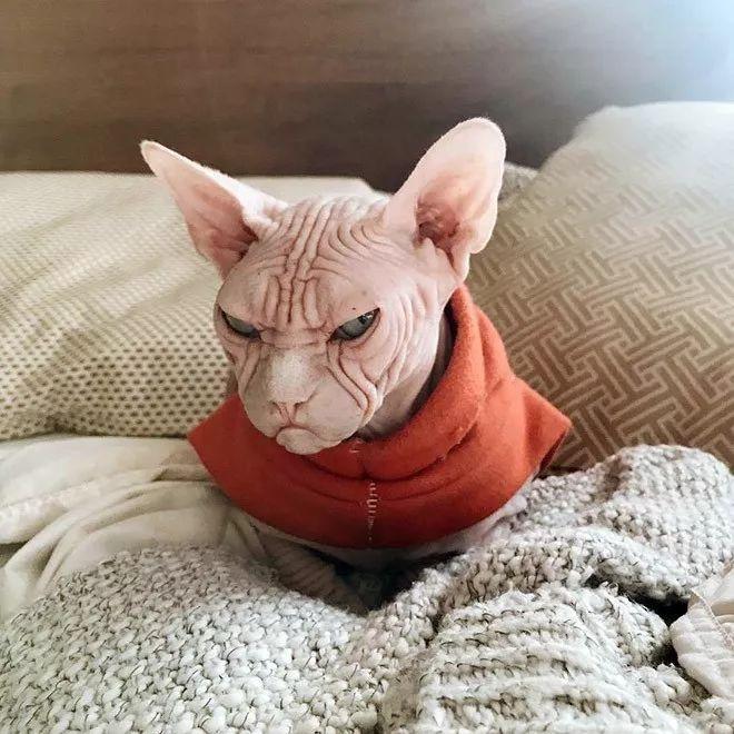 这是我见过表情最凶的斯芬克斯猫