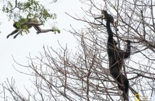 黑猩猩进食时先吃小猴子的大脑——人类进化的重要线索