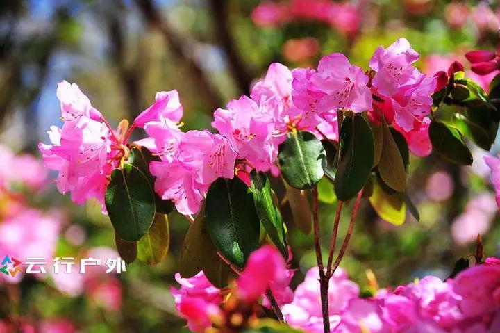 遗世的净土——雨崩五月高山杜娟徒步赏花之旅