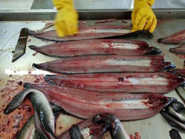 无论日本的关东流派的背部切开鳗鱼,还是关西流派的腹部切开鳗鱼,一流图片