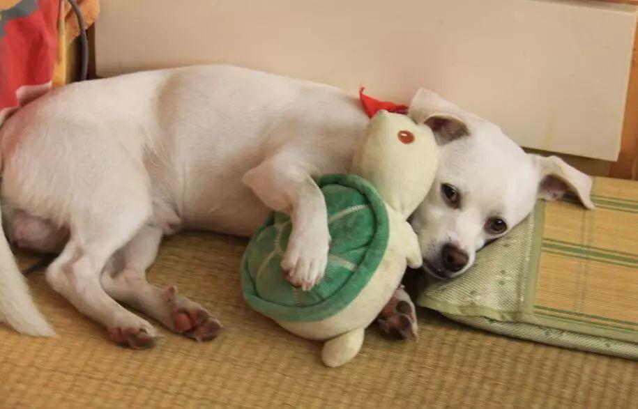 流浪狗被收養的時候,懷裏竟藏着一隻小狗:求你帶我們一起走...