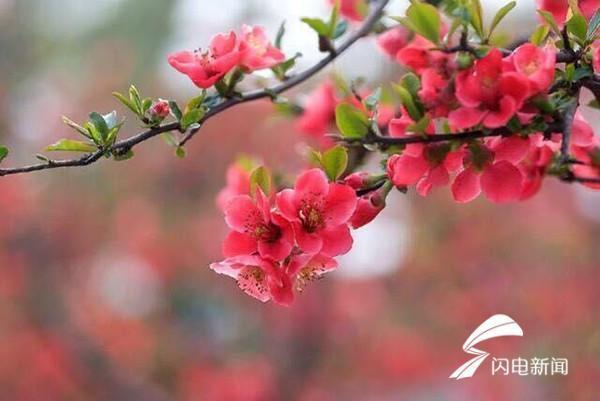 一片春心付海棠!青岛发布海棠花期预报(附赏花攻略)