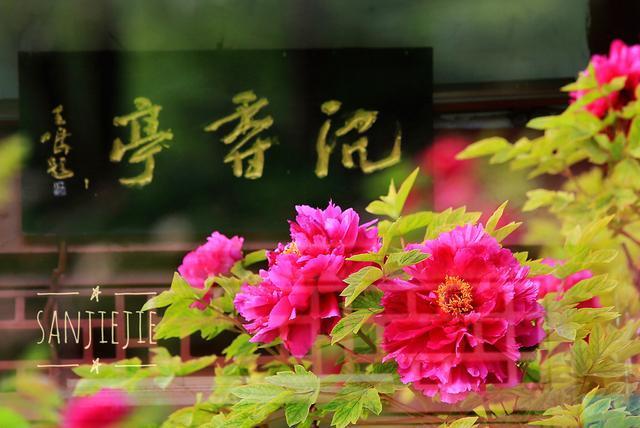 等到花也谢了_洛阳牡丹已进入盛花期 别等到花儿都谢了