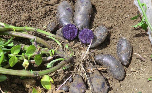 乌黑迅雷高达_黑土豆薯形呈长椭圆形,芽眼较小.果皮呈黑紫色,乌黑发亮,富有光泽.