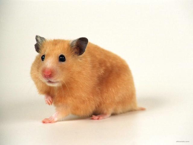 养殖可爱的仓鼠,友友们该注意什么呢?