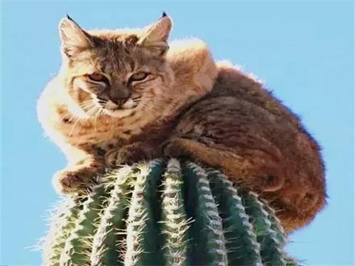 網友看到驚險一幕:山貓竄上仙人掌,一呆就是三天!