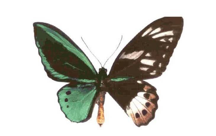 鬼美人凤蝶,据说是在中国云南发现的一种十分奇特的蝴蝶,发现者是一