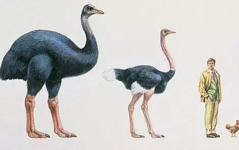 象鸟其实跟鸵鸟还有点像,都是脑袋小脖子长,而且超级灵活,有利于捕食