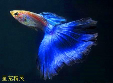 孔雀鱼繁殖100+只,你的小孔雀鱼能成活多少