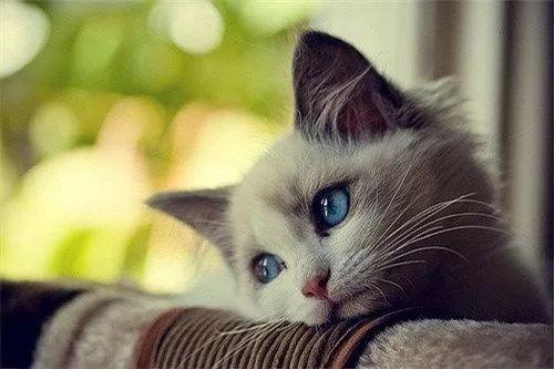 猫上呼吸道感染症状吃什么药图片