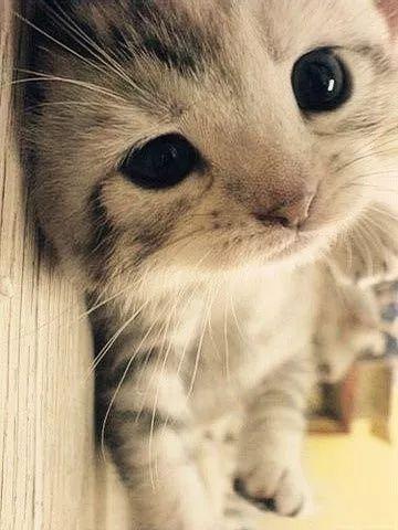 猫呼吸道感染症状咕噜咕噜图片