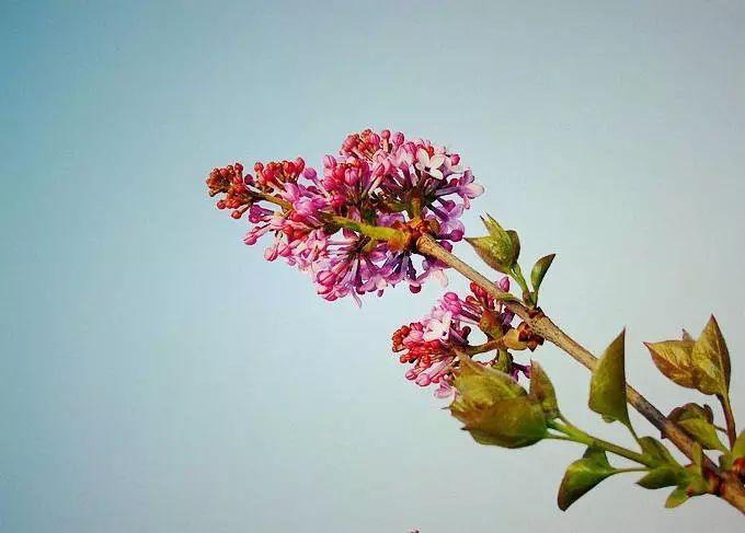 丁香花窗前的一株紫丁香范文图片