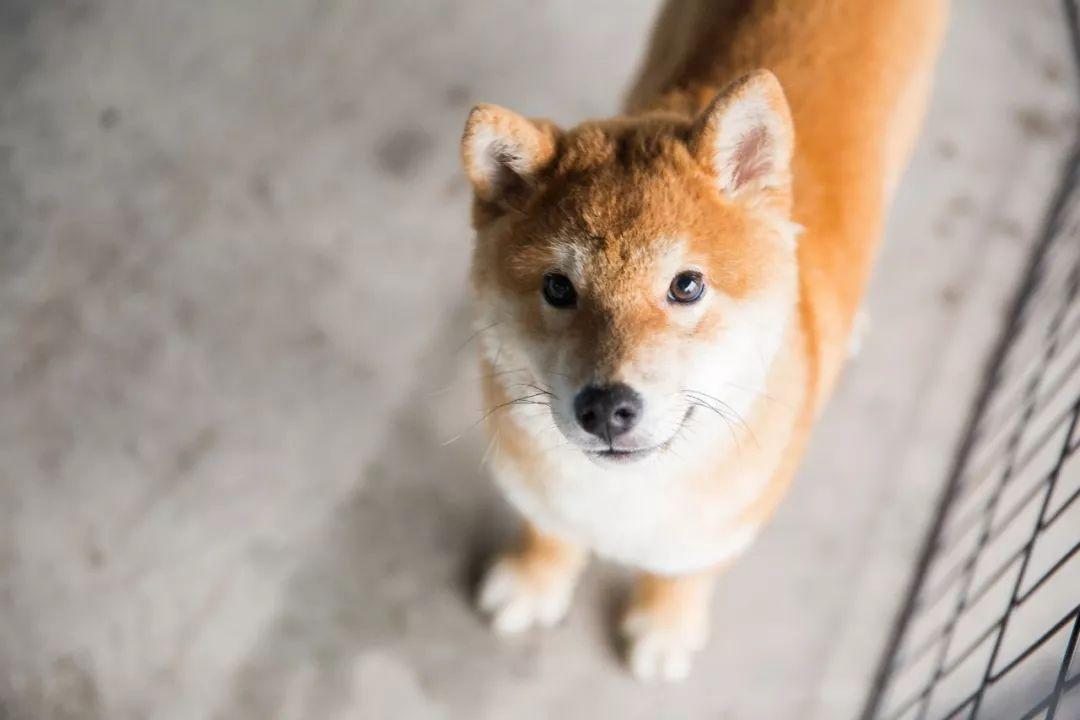 www撸逼网_广州居然有家柴犬网红店,随手都是行走的表情包!来撸!