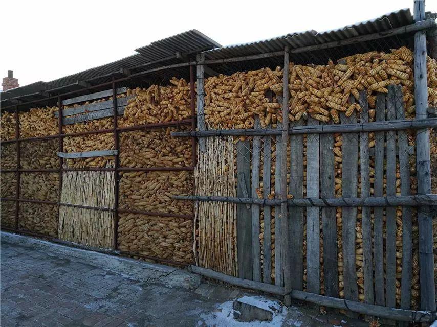 【观察】实地调查:今年有多少人种玉米了?能赚多少?图片
