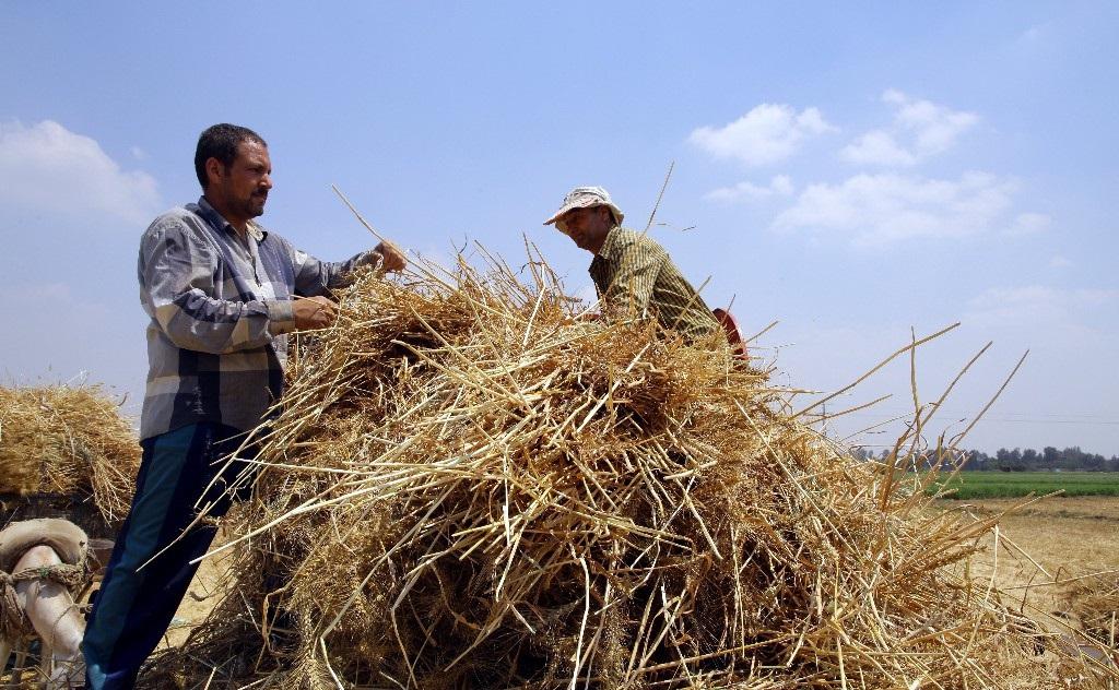 直击埃及农民收割小麦,跟我国有什么不同