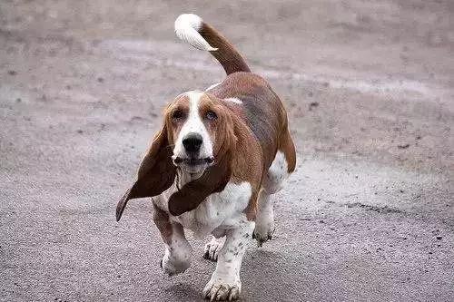 血堤犬_史上最全狗耳朵的类型有哪些?