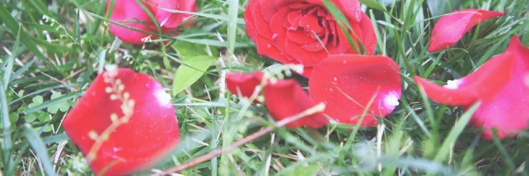 四迹|夜莺与图片斗龙战士极风神翼龙的玫瑰图片