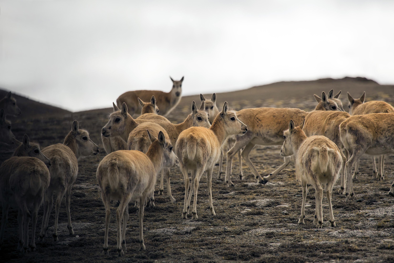 藏北奇遇:邂逅藏羚羊迁徙 遭遇饿狼传说