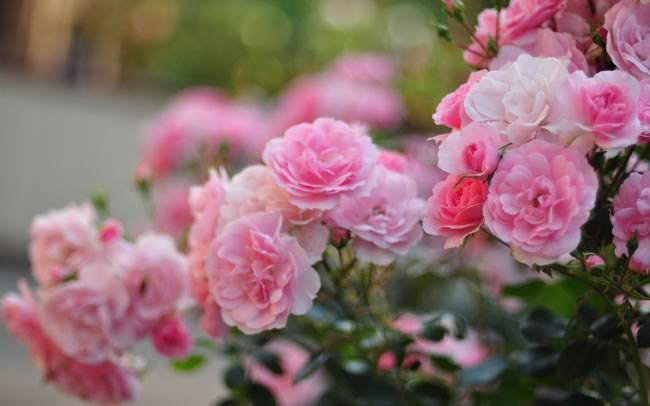 花语分享之 蔷薇