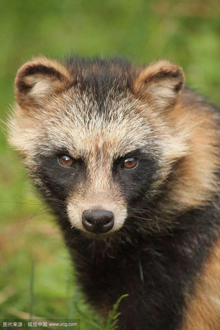 土狗子咬人_你买的国产小浣熊其实是只土狗子 ······