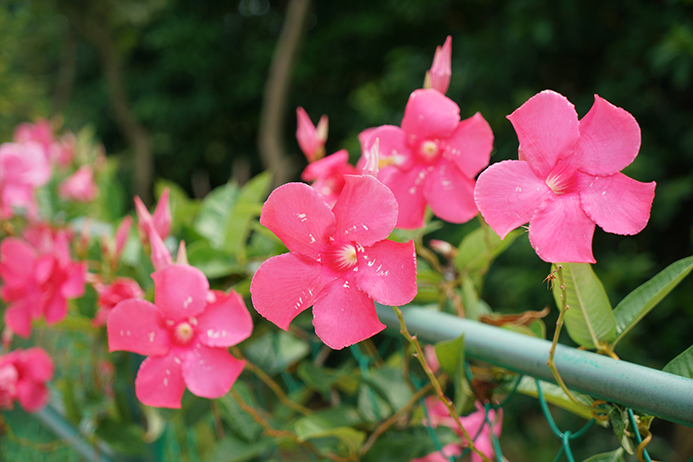 飘香藤,缠绕茎柔软而有韧性,顺着支架盘旋而上,花典型的夹竹桃家族