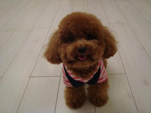 如何给泰迪狗剪毛