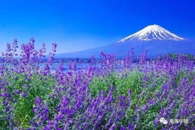 樱花季已过,但还有芝樱和薰衣草,初夏两大花祭又来了图片