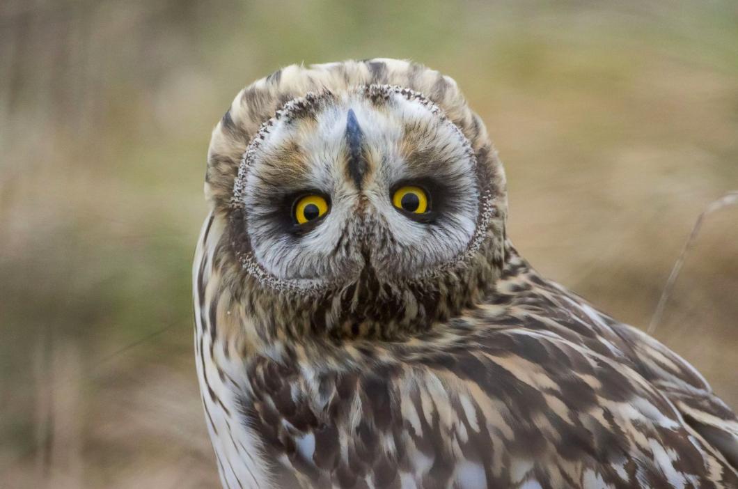 动物�y�,y�(9�d_野生动物摄影师alain balthazard捕捉到了一只短耳猫头鹰,鸟儿将头
