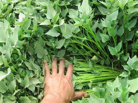 夏薯以及时深耕打埂种植为好.图片