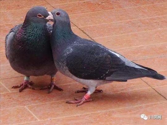 养鸽子注意鸽舍储存的饮水