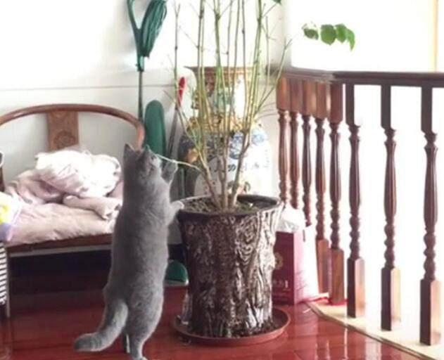貓咪咬家裏的盆栽,不料被主人發現後,頓時就慫成了一團!