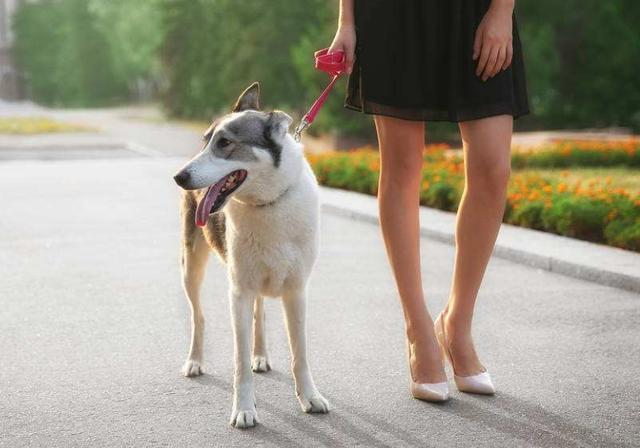 要经常外出遛弯运动,但是在炎热的天气的时候,我们要特别注意遛狗的
